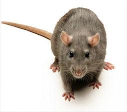 Brown Rat – A guide to Irelands protected habitats & species