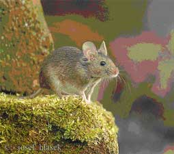 House Mouse – A guide to Irelands protected habitats & species