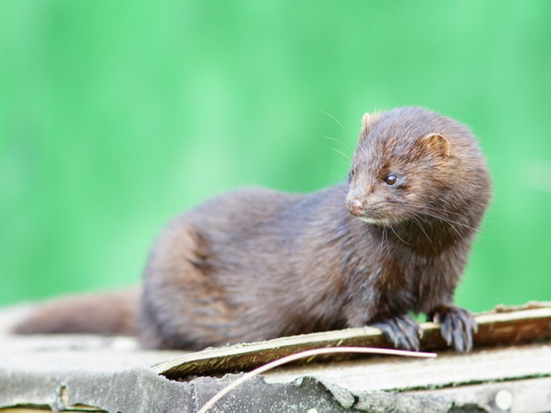 ef5592a7b8e American mink – A guide to Irelands protected habitats & species