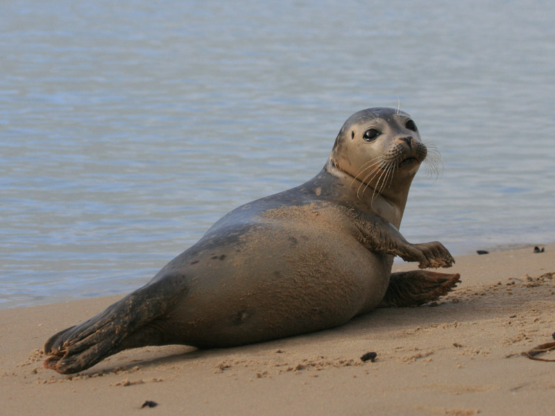 Common seal - A guide to Irelands protected habitats & species