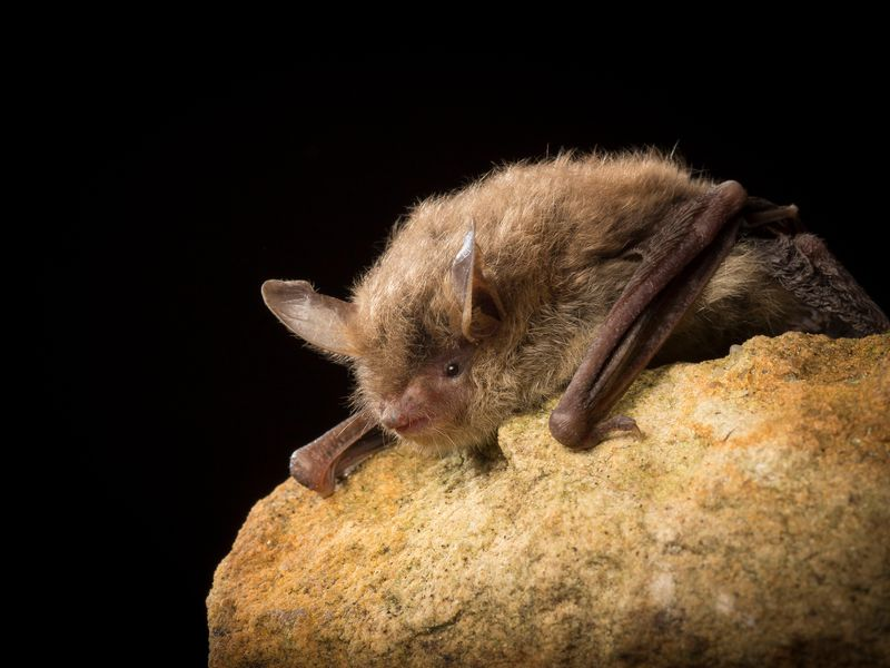 brown long eared bat a guide to irelands protected habitats species