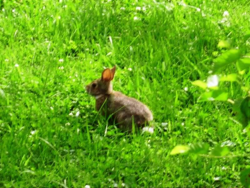Rabbit – A guide to Irelands protected habitats & species