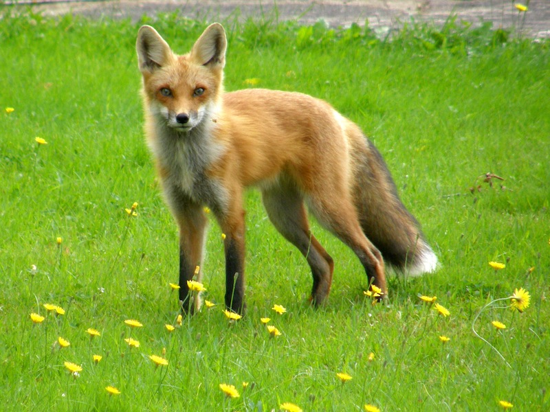 Red Fox A Guide To Irelands Protected Habitats Amp Species