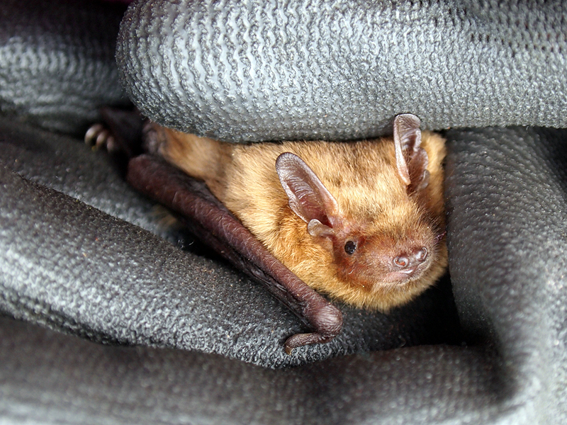 Soprano Pipistrelle – A guide to Irelands protected habitats & species
